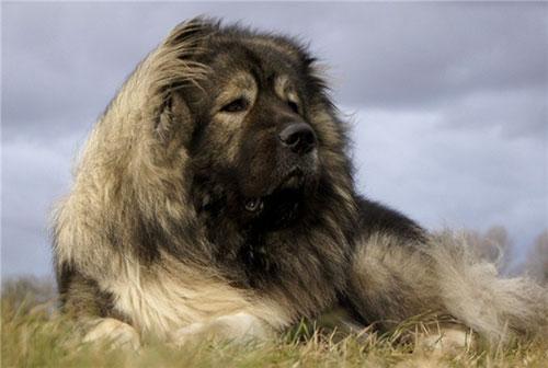 Giống chó Cacasus