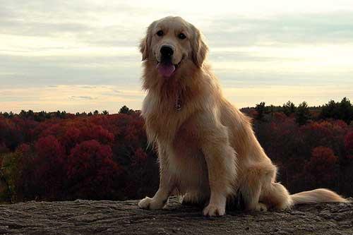 Kích thước của giống chó Golden