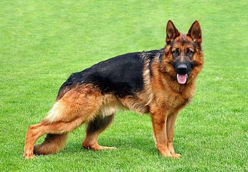 Chó becgie Đức - 5 giống chó thông minh nhất