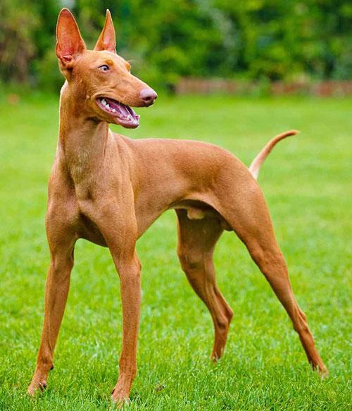 Giống chó Pharaoh Hound
