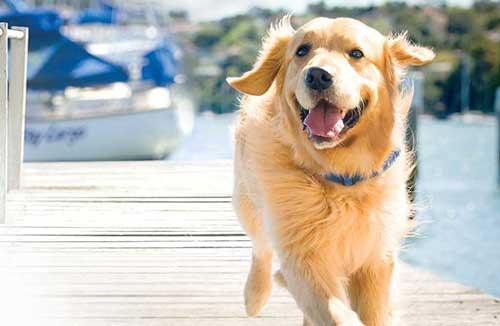 Chăm sóc chó Golden