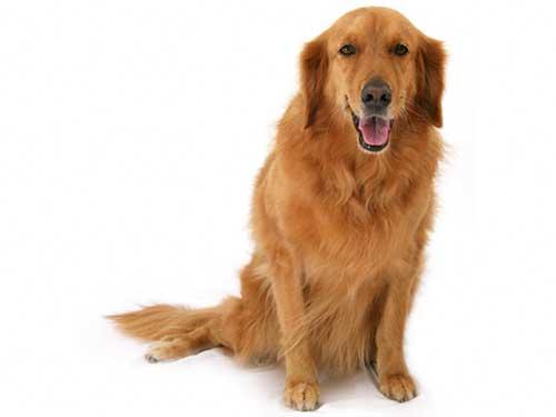 chăm sóc giống chó Golden