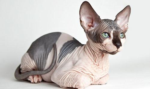 Cách chăm sóc giống mèo Sphynx