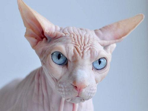 Điểm đặc biệt của mèo Sphynx như thế nào. Ảnh ST