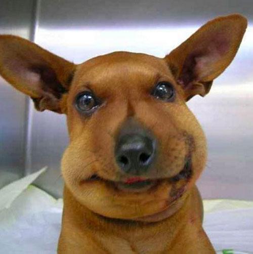 Chú chó bị ong đốt tới sưng mặt