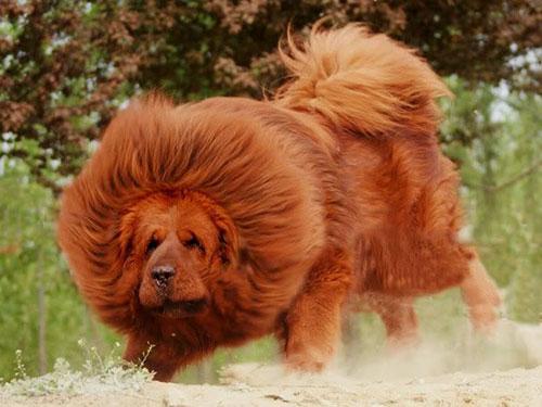 Chó Ngao Tây Tạng đỏ