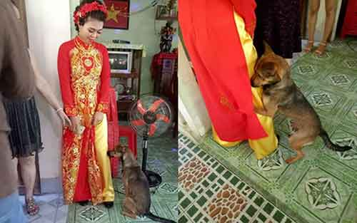 Chú chó nhất quyết không để cô chủ đi lấy chồng