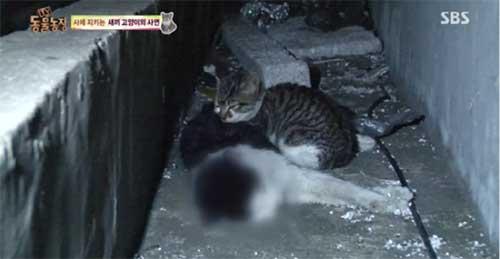 Chú mèo con không rời thi thể mẹ