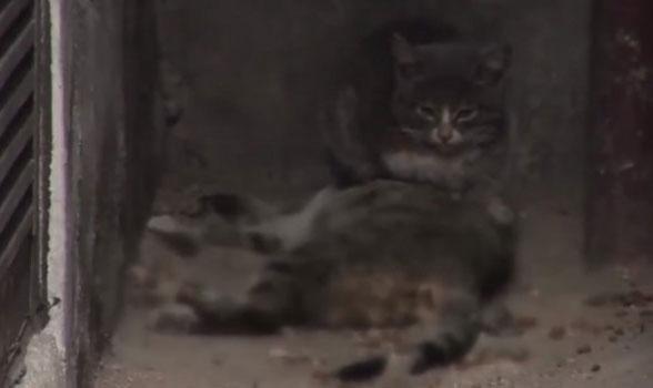 Chú mèo dành phần thịt để mang về cho mèo mẹ đã chết