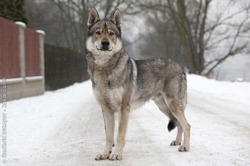 czechoslovakian-wolfdog