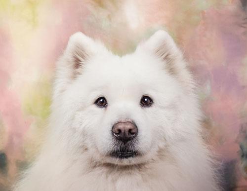 Tính cách của giống chó Samoyed