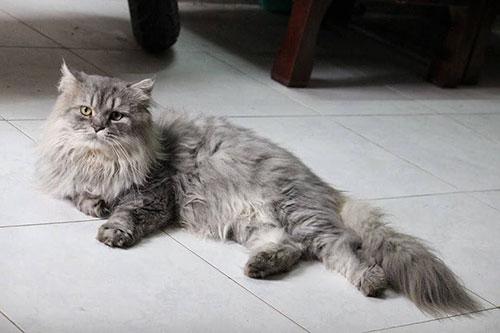 đặc điểm của mèo anh lông dài