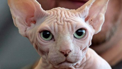 đặc điểm giống mèo sphynx