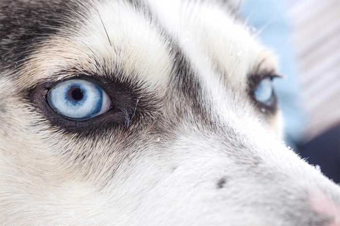 đôi mắt của giống chó husky