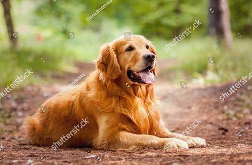 Giá tiền chó Golden