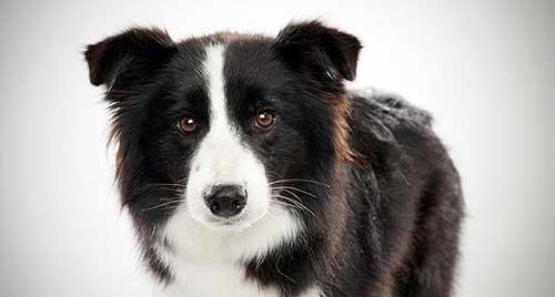 Giống chó Border Collie - 5 giống chó thông minh nhất