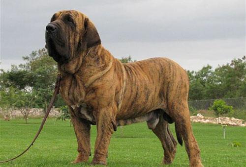 Giống chó Fila Brasilero
