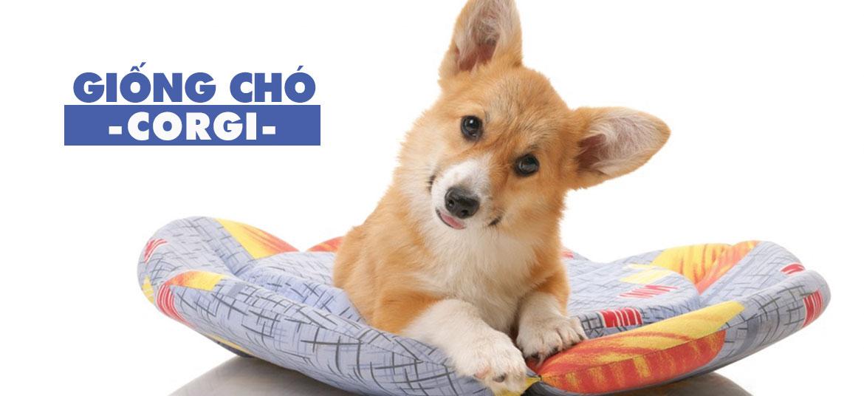 thông tin chi tiết về giống chó corgi