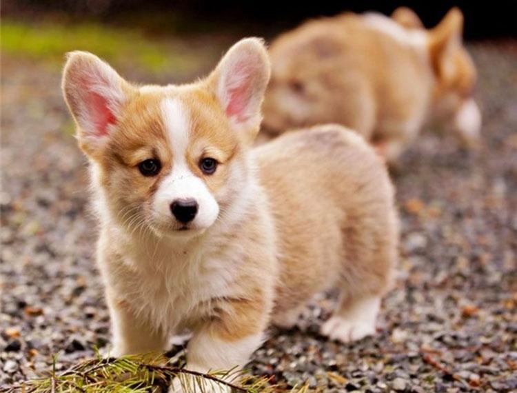 Thông tin về giống chó Corgi