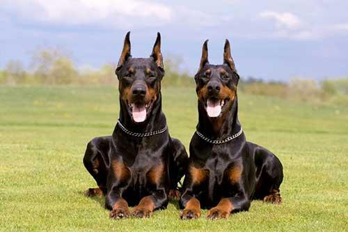 Giống chó Doberman - 5 giống chó thông minh nhất