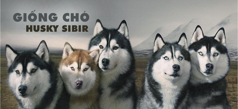 giống chó husky sibir