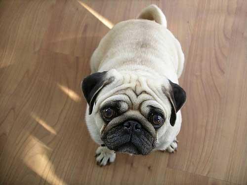 Giống chó Pug mặt xệ