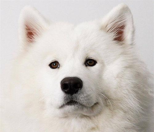 Đặc điểm giống chó Samoyed