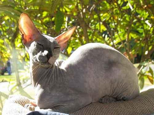 Giống mèo Peterbald