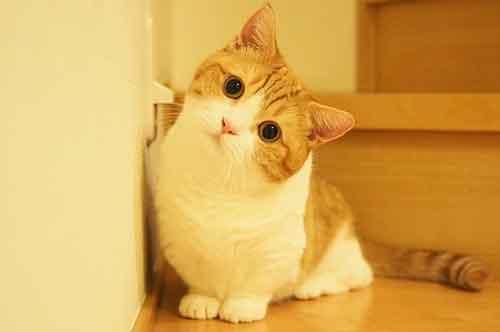 Tính cách của mèo Munchkin chân ngắn