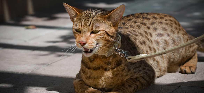 Mèo Ashera đắt nhất thế giới
