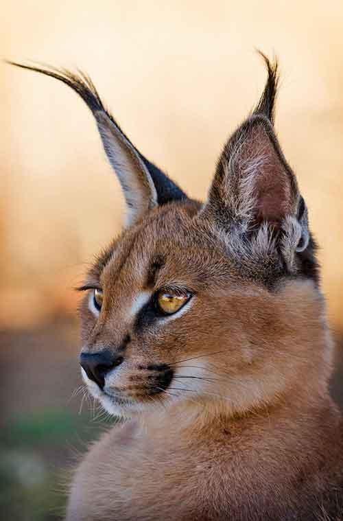 Mèo canacal