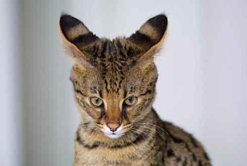 Mèo Savanah