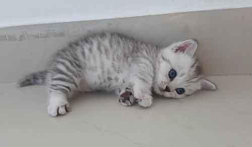 nguồn gốc của mèo Munchkin