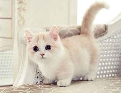 Đặc điểm của mèo Munchkin chân ngắn