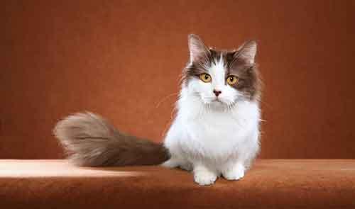 Mèo Munchkin chân ngắn giá bao nhiêu