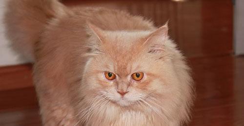 Tính cách của mèo Anh lông dài