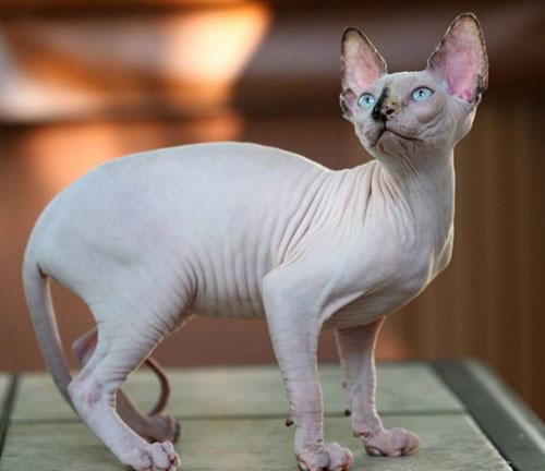 Thân hình giống mèo Sphynx. Ảnh ST