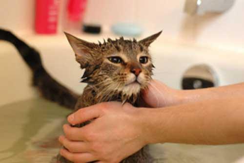 Chú ý khi tắm cho mèo