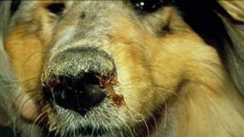 Bệnh care ở chó có lây sang người không