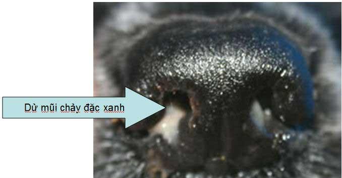 Bệnh Care ở chó đường hô hấp