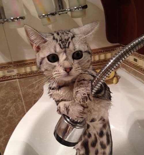 Tắm cho mèo con ngay từ khi đón bé