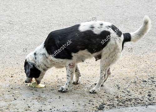 Chó bị nôn ra dịch vàng. dịch trắng, bỏ ăn