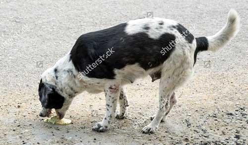 Chó bị nôn
