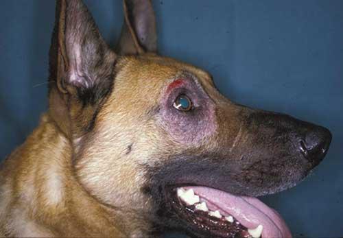 Chó bị viêm da có mủ rụng lông