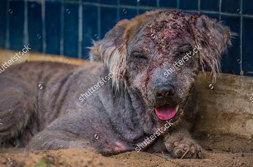 Chó bị viêm da có mủ, rụng lông