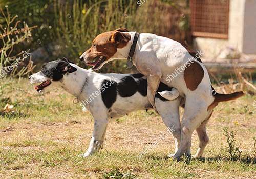 khái niệm chó Salo là gì
