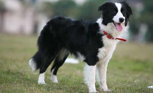 Đặc điểm của giống chó Border Collie