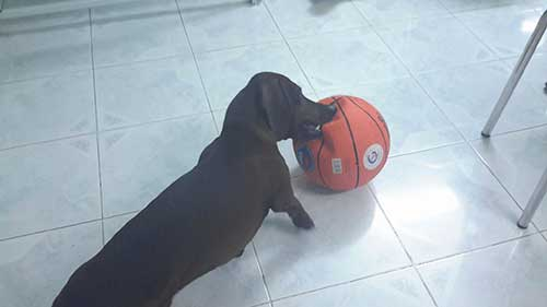 Đặc điểm của chó Dachshund, Lạp Xưởng