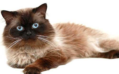 Đặc điểm của mèo Himalaya
