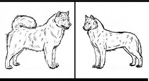 Vóc dáng phân biệt chó Alaska và Husky